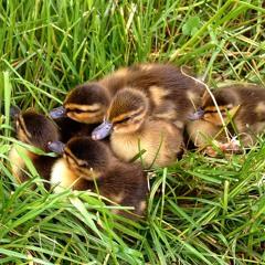 "nº 296: ""Anas platyrhynchos Chicks"" Mallard Duck"