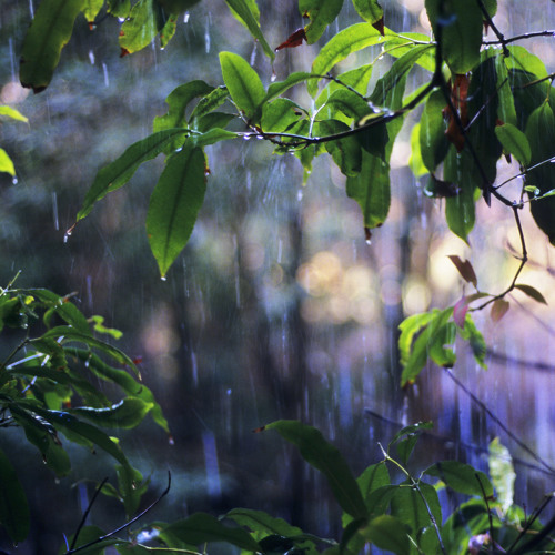 Bellbirds in the Rain - The Glen Nature Reserve, NSW Australia