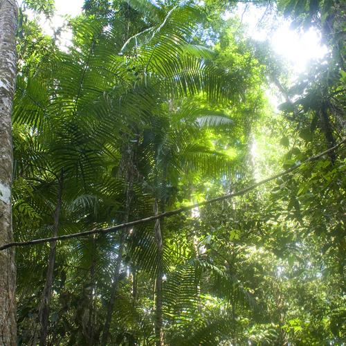 Jungle cicadas at Iwokrama