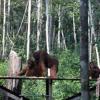 Kerusakan Alam Disinyalir Sebabkan Turunnya Kunjungan Turis Asing ke Tanjung Puting mp3