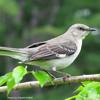 Northern Mockingbird Cuba May
