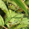 Cricket/Insect Chorus - 22Jan12 - Belize