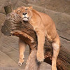 Lion Sleeps Tonight Ukulele Rendition