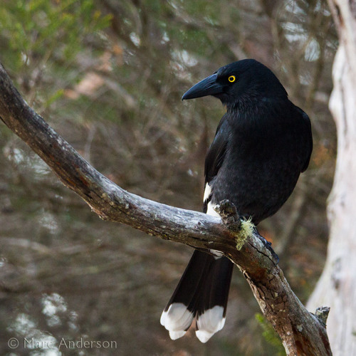 Currawong Concerto - Macleay River Valley, Australia