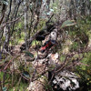 Brandy Creek Track lyrebirds
