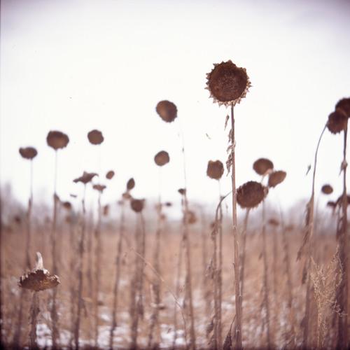 Die gefrorene Blume der Sonne