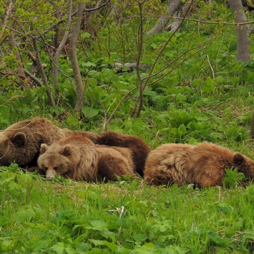 Dreams of bears
