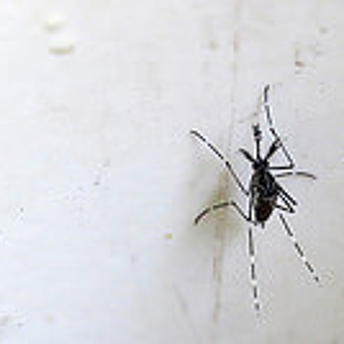 The Mosquito Gets His