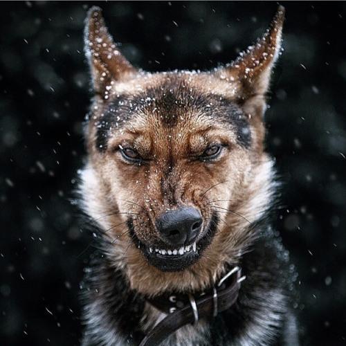 Maverik - Dawg