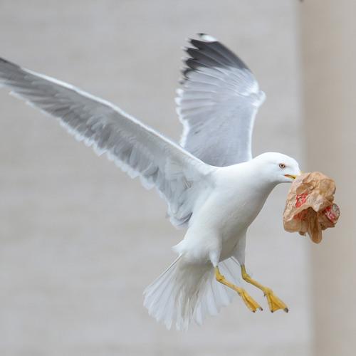 Seagull Call