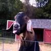 Wiggly Tongue Goat (Pierce Amstutz Remix)