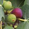 Fruitfulness and Barren Life a Kannada Message by Daniel Koti