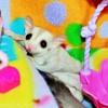 Sugar Glider Singing to Joey