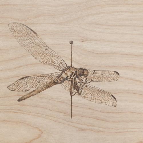 Oh, Odonata