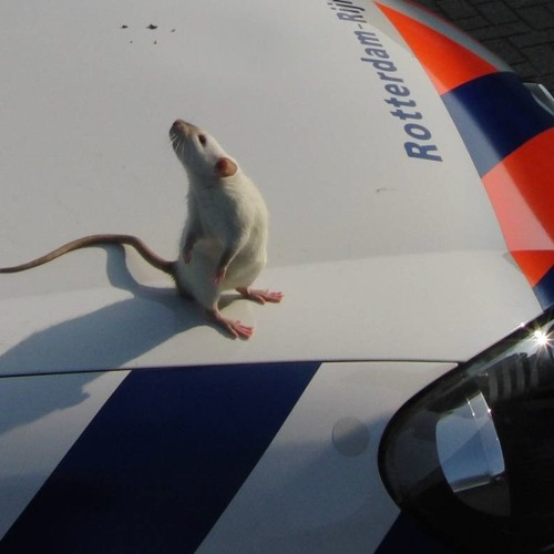 Rats on the Job