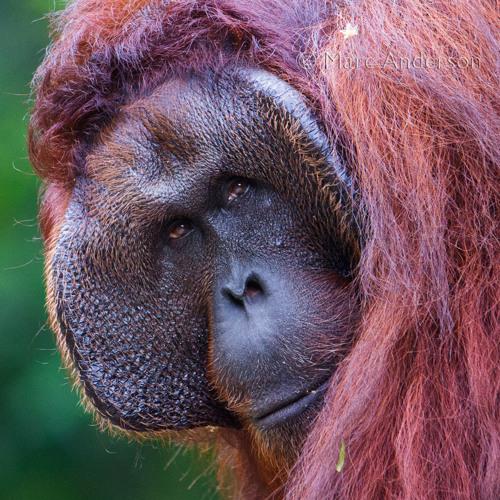 Orangutan calling, Danum Valley, Borneo