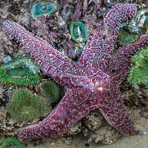 Starfish at Pescadero