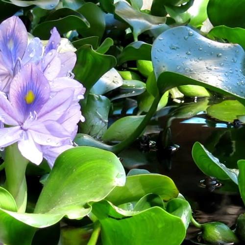 Flor de Águapé