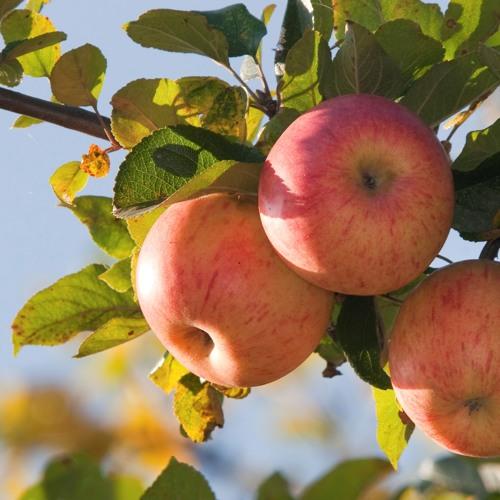 Darf man Äpfel, welche bei einem Baum am Boden liegen, auflesen und essen?