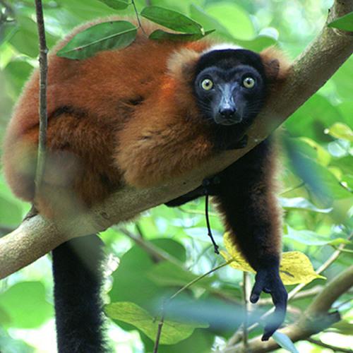 Tierstimmen Masoala Regenwald