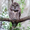 Barred Owl - Who Cooks for You call