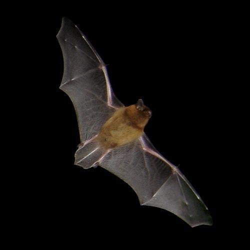 Echolocations Pipistrelle commune