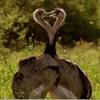 Rheas Breeding Head - Bobbing Fighting - Attenborough's Big Birds 26.3.15