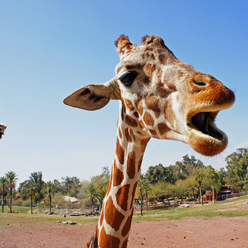 EcoMyths: What does a giraffe sound like? by WBEZ's