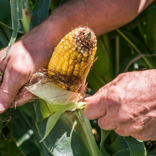 Monsanto claims news GMO corn produces bigger ears