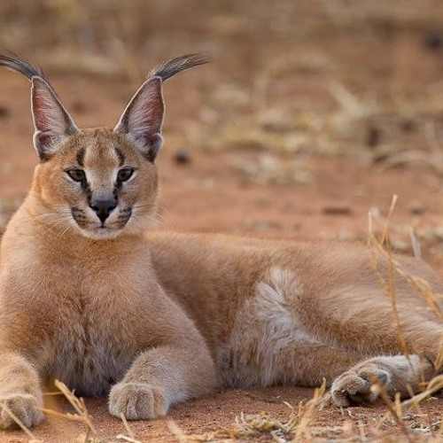 Dr. Laurel Serieys talks about Urban Caracal Project
