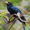 Indian Koyal (Cuckoo) in my house garden Mumbai, India 4th May 2011 4:00 AM
