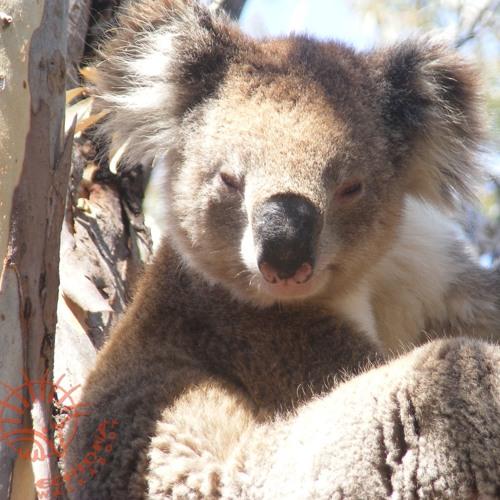 Koala Clancy singing in the wild