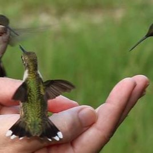 Hummingbird Cocoon