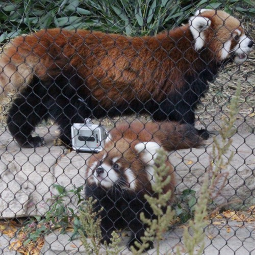 Red panda cubs Clark and Addison make their outdoor debut