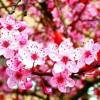 Sakura - Ikimono Gakari (Cover) Azny feat Diya Shofi