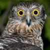 Graham Ross 2GB on Powerful Owls etc  Beecroft Byles Valley Creek