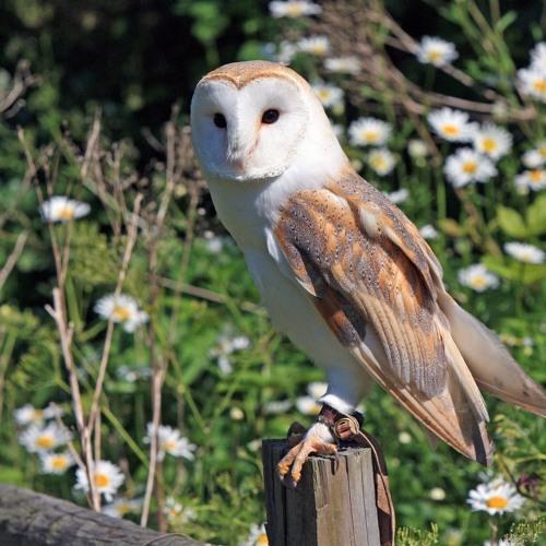 Barn Owl Scream