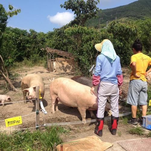 Shodoshima: Feeding of the pigs