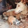 Native Animals: Dingoes - amazing animals, nothing like dogs