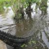 Crocodiles in the Swamp - Take 001 - Nov 11 2015