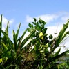 The Prayer - Cover of Ho'okena and Maila Gibson's Hawaiian Version