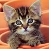 Bagaimana Kita Memastikan Anak Kucing Tidak Buta Dan Tuli