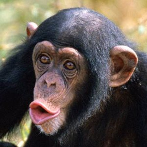 Shrewdness Of Apes