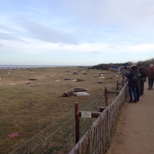 Seal Sounds at Donna Nook