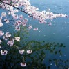 Floating Cherry Blossoms