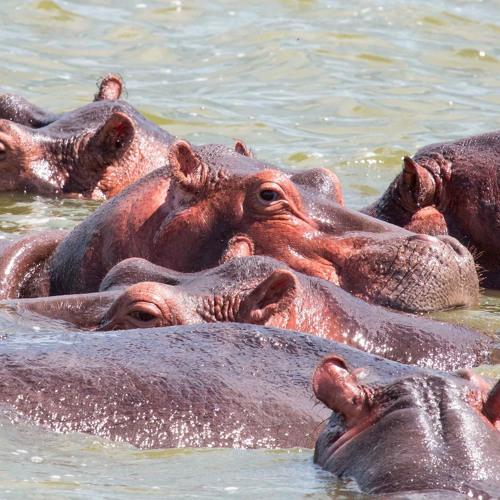 Hippopotamus Vocalisations - Kyambura Gorge, Queen Elizabeth National Park, Uganda