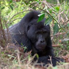 Mountain Gorilla Vocalisations - Bwindi Impenetrable National Park, Uganda