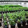 Green Rush: An inside look at a huge Colorado marijuana dispensary