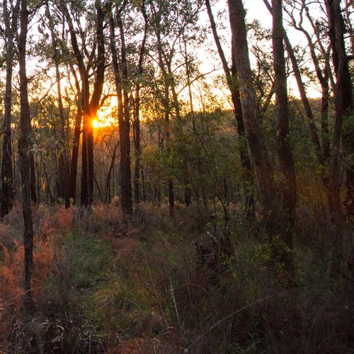 Dusk soundscape from pindaroi forest northern nsw for Ambiance australia