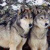 Coyote hunting contest raises environmental and ethical issues